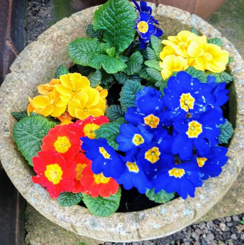 Plant pot with primula in red, yellow and blue colours.