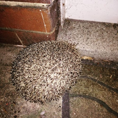 Hedgehog at a Doorstep by a door mat